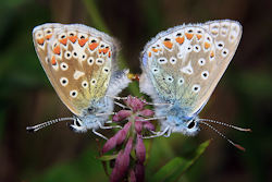N Common Blues