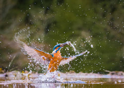 N Kingfisher with catch