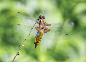 DE Broad Bodied Chaser