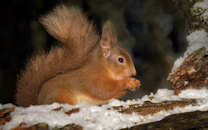 DW red squirrel
