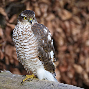 DW Sparrowhawk at rest