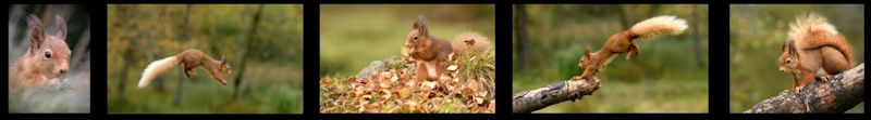 DW red squirrels